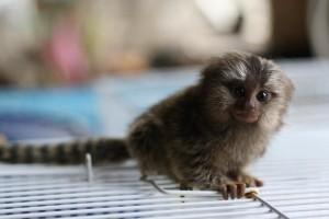 Baby marmoset monkeys for adoption email (ndefrugina@gmail.com)