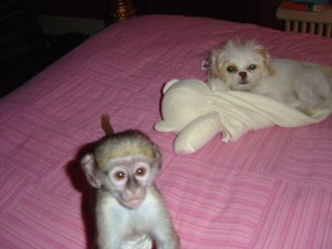 BABY CAPUCHIN MONKEY FOR ADOPTION