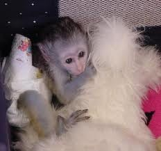 Adorable Baby Capuchin Monkeys for adoption