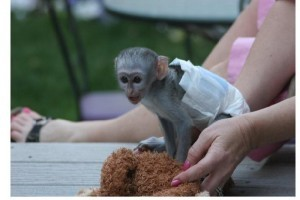 2 lovely Capuchin monkeys for adoption