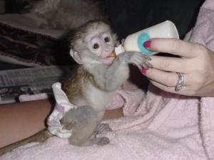 Monkeys - South Carolina - Free Classified Ads