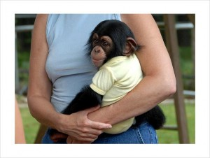 (julia_seeds@yahoo.com)Available Now Male And Female Baby Chimpanzee
