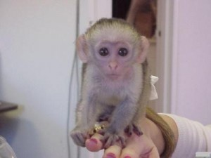 Awesome capuchin monkey available for adoption