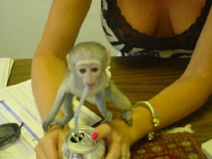 INTELLIGENT BABY CAPUCHIN MONKEY AVAILABLE FOR A GOOD HOME