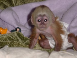 Healthy capuchin monkys for free adoption