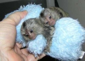 DNA MARMOSET MONKEYS AVAILABLE FOR RE-HOMING