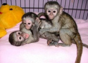 Cute And Lovely Baby Capuchin Monkeys for adoption