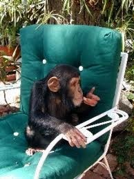 cute adorable baby chimpanzee for sale
