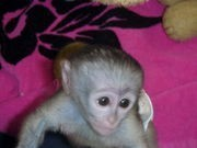 top quality capuchin monkeys for adoption