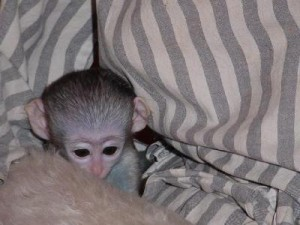 avialable quality capuchin monkeys for a good home