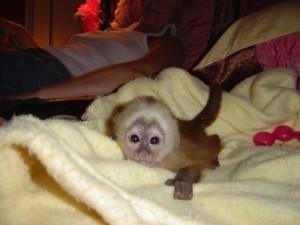 monkeys south carolina free classified ads. Black Bedroom Furniture Sets. Home Design Ideas