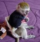 available capuchin monkeys for a good and loving home.