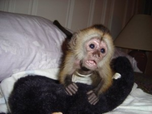 capuchin monkeys available for rehoming