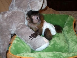 two lovely Capuchin monkeys ready for a new home