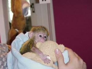 Adorable Capuchin monkeys waiting for you out there