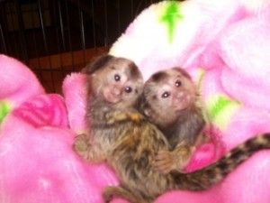 Capuchin squirrel and marmoset monkeys for sale