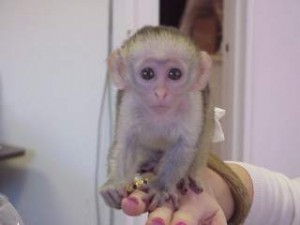 good looking capuchin monkey