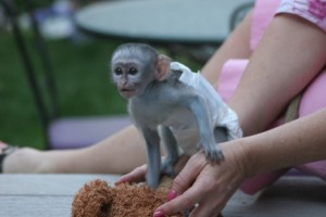 Baby Capuchin monkey for free adoption