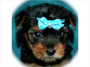 Lovely Cute Looking Teacup Apple Head Yorkie Puppies 12 Weeks