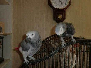 Healthy Pair of African grey parrots for free adoption