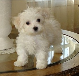 Two Maltese Puppies Available For Free Adoption Saratoga Springs