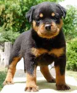 German Rottweiler Puppies For Sale Independence Mo Asnclassifieds