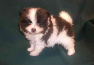Ozzy Pomeranian Puppies for Sale - Binghamton, NY | ASNClassifieds