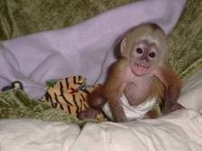 good looking capuchin monkey for adoption
