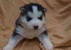 calm Siberian Husky Puppies for Sale - Green Bay, WI