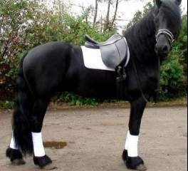 Friesian gelding available for adoption