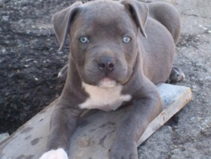 Blue Nose Pitbull Puppies Miami Beach Fl Asnclassifieds