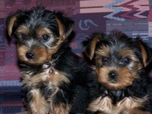(FREE)Adorable Male and Female Yorkie Puppies For Adoption Into Good Homes Only
