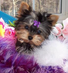 Dodge City, KS. yorkie puppies for free adoption