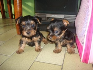 Beautiful Babyface Teacup Yorkie Puppies For pet lovers