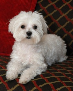 Maltese Puppy For Sale Aberdeen Sd Asnclassifieds
