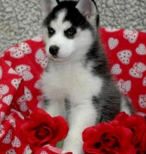 Super Adorable Black White Siberian Husky Puppy 1 Blue Eye 1 Brown