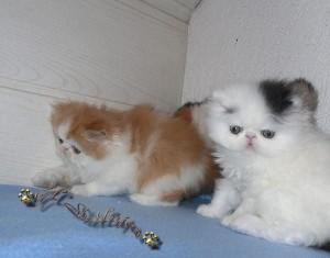 Persian cat for sale nueva ecija