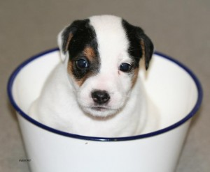 adorable male and female jack russell terrier puppies