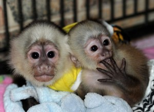 Monkeys - Nevada - Free Classified Ads