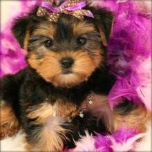 Imágenes De Cheap Yorkie Puppies For Sale In Chicago