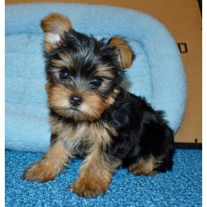 Teacup And Toy Yorkie Puppies Boys Girls Antioch Ca
