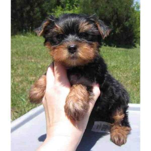 Healthy Male And Female teacup Yorkie puppies for adoption