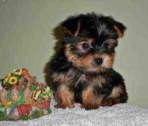 Two Healthy Teacup Yorkie Puppies For Adoption - Woodbridge, VA
