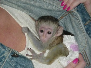Nice looking male and female Doll Face Capuchin Monkey  for Adoption