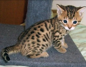 Bengal cat for adoption in nc