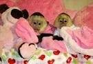 Cute Female and male  Baby Capuchin Monkies For Adoption.!!!!!!!