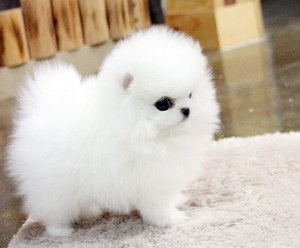 Freeteacup Pomeranian Puppies For Adoption Into Good Homes Only