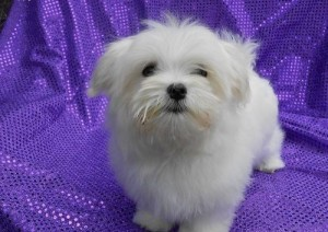 we have standard Maltese puppies