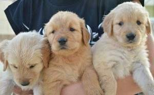 Amazing Golden Retriever Puppies