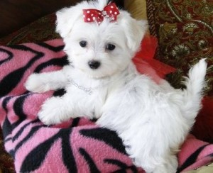 Cute White Maltese Puppies For Sale Levittown Mo Asnclassifieds